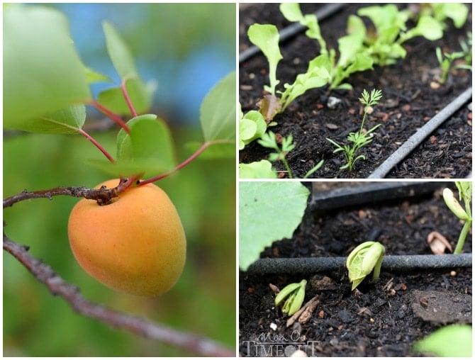 apricot-green-beans-lettuce-carrots