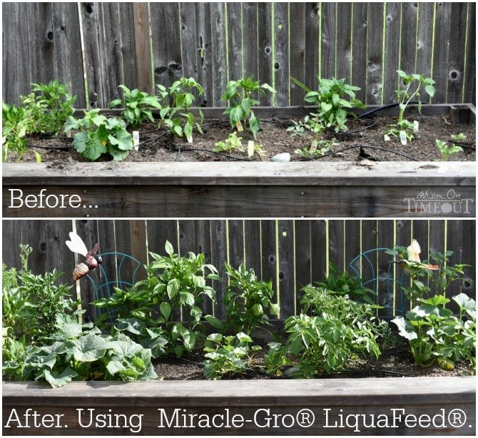before-and-after-miracle-gro-liquafeed