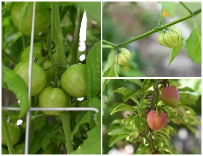 tomatoes-tomatillos-plums