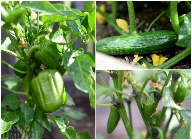 veggies-in-planter