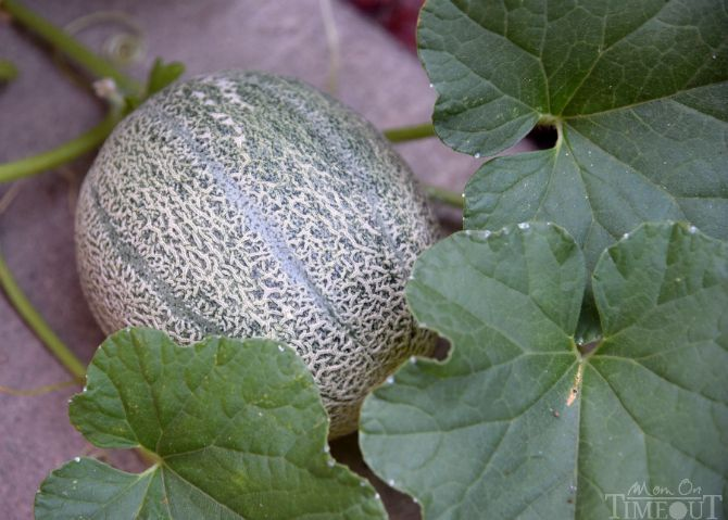 cantaloupe-garden